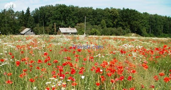 Ligo Latvijoje - aguonų laukai