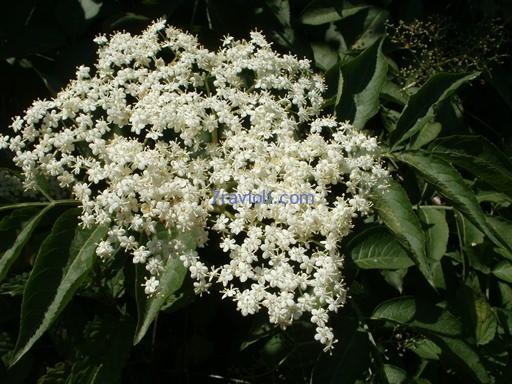 šeivamedis (sambuca)