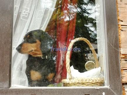 Tukumas. Šuo žiūri pro langą.