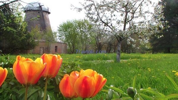 pievose prie seno Žagarės malūno, kur žydi Ritos tulpės